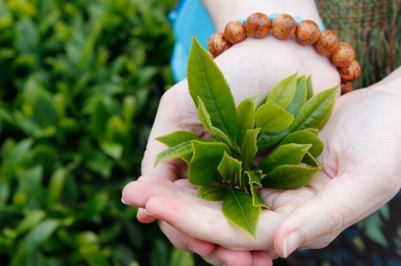 Bị viêm lợi nên ăn gì? Trà xanh là nguyên liệu quen thuộc trong điều trị các vấn đề về răng miệng