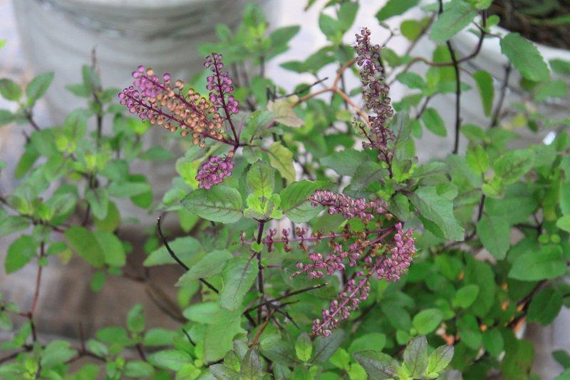 Đinh hương là một loại thảo dược được dùng rất phổ biến trong Đông y